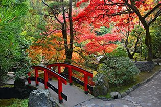 Turning maple leaves in the Japanese Garden at Butchart Garden