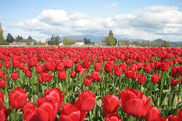 Kick Off Spring with These 4 Local Flower Fests | Seattle ...